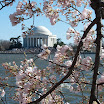 Cherry Tree Blossoms in DC