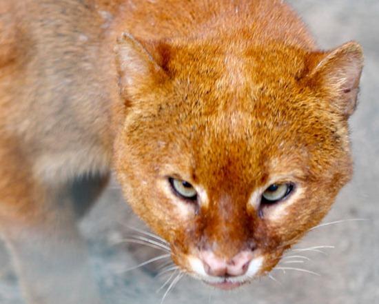 cross-eyed jaguarundi