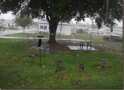 Florida Sand cranes at Winter Quarters rv park