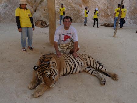 Templul tigrilor Thailanda - cu tigrul