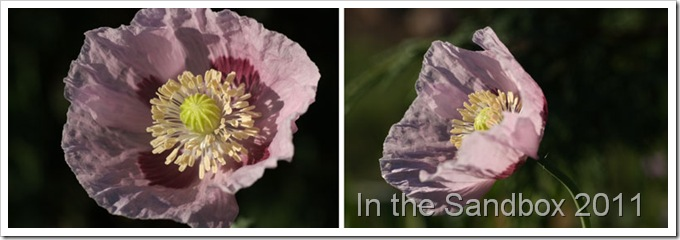 Bella's-poppies-diptychLR