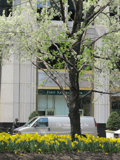A crowd of daffodils in the Park Ave. median.
