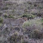 Gepard in der Dämmerung © Foto: Judith Nasse | Outback Africa Erlebnisreisen