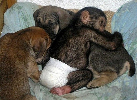 Chimpanzee Adopted By a Mastiff 017
