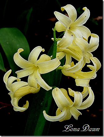 Hyacinth_Yellow