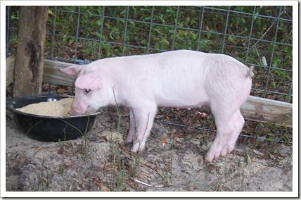 Pig 040