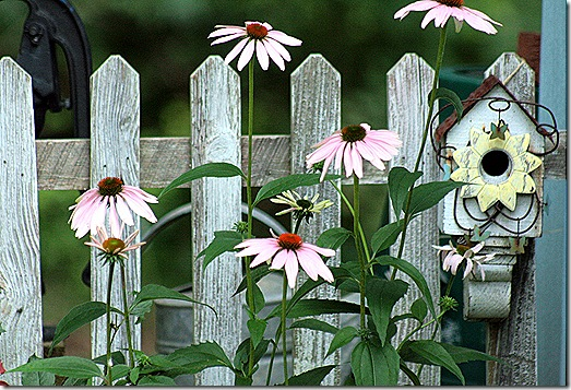 Fence_Coneflowers