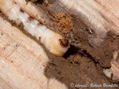 7-2014-02-20_larva Aegosoma scabricorne_Varenna (20)