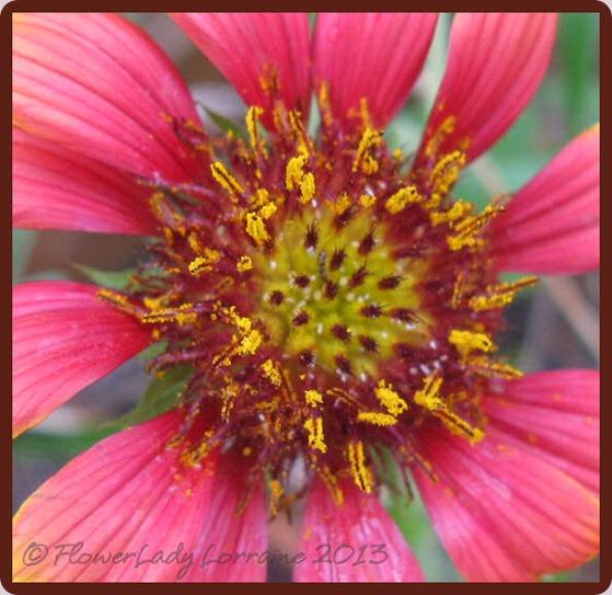 08-26-blanket-flower