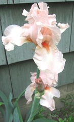 Spring 2012 peach iris aunties2