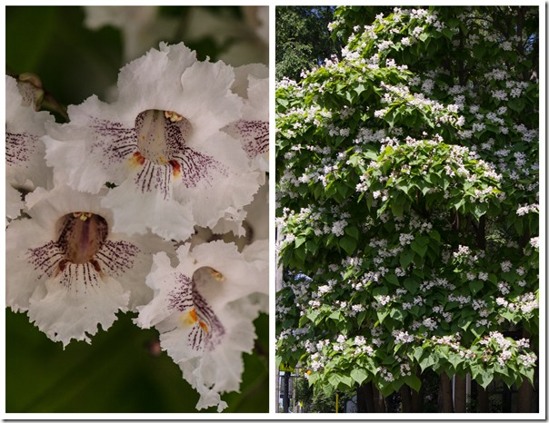 Catalpa Tree diptch