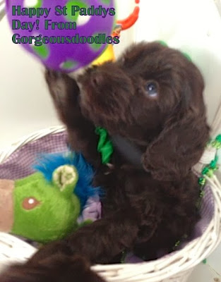 dark chocolate labradoodle