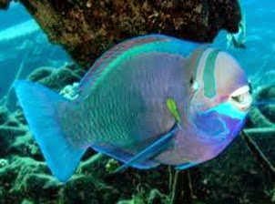Amazing Pictures of Animals, Photo, Nature, Incredibel, Funny, Zoo, Parrotfish, Scaridae, Fish, Alex (8)