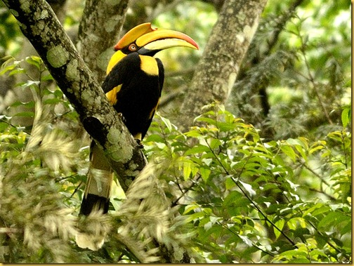 valparai-greathornbill