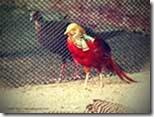 Pheasant-Family