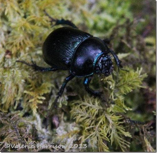 36-dor-beetle