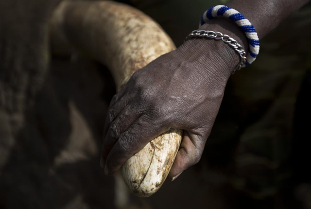 In this 3 December 2013 file photo, a local Maasai tribesman places his hand on the tusk of a tranquilized wild elephant during an anti-poaching elephant-collaring operation near Kajiado, in southern Kenya. China imposed a one-year ban on ivory imports that took immediate effect, on Thursday, 26 February 2015, amid criticism that its citizens' huge appetite for ivory has fueled poaching that threatens the existence of African elephants. Photo: Ben Curtis / AP Photo