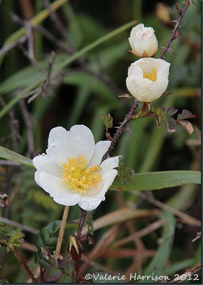 5-Burnet-rose