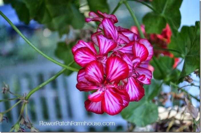 bicolor ivy geranium1