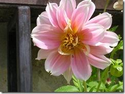 včely na květech 109