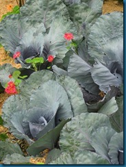 red-cabbage-with-nasturtiums