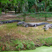 Alligators in Audubon Zoo