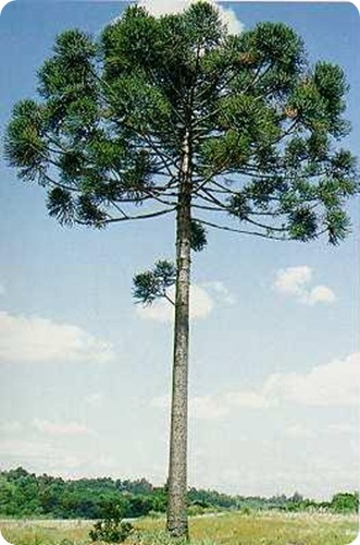 Parque provincial de la Araucaria1