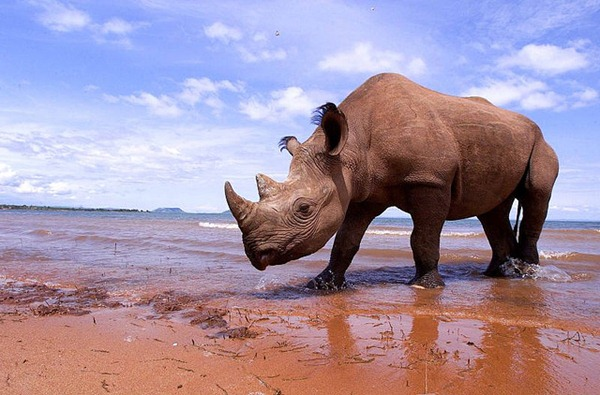 Rhino at the beach