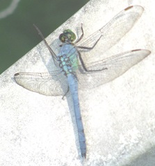 dragonfly blue with lopsided wings