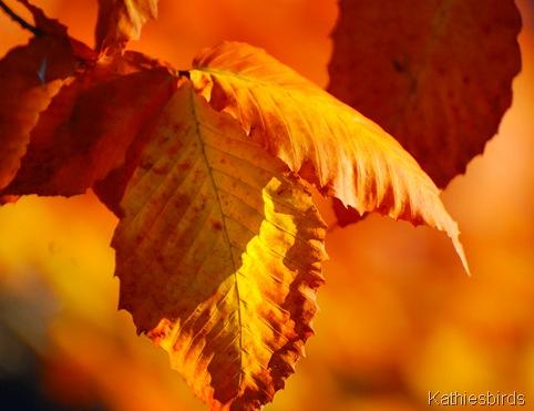 8. autumn gold-kab