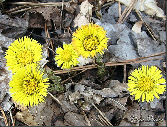 Coltsfoot_March13