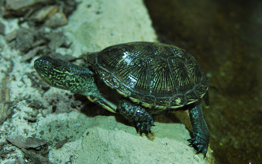 sköldpadda helprofil