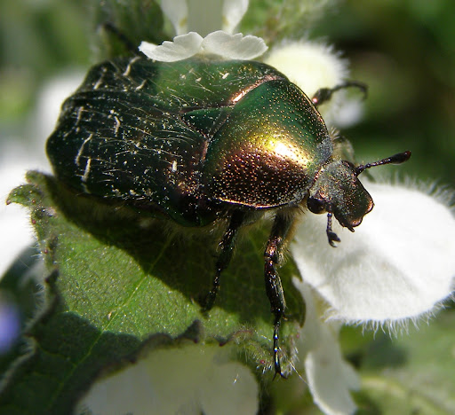 Cetonia-aurata-Rose-chafer-