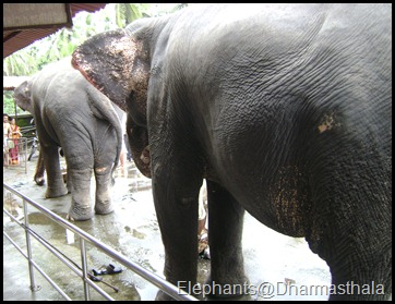 Elephants@Dharmasthala