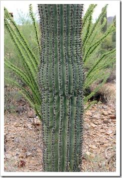 120728_ArizonaSonoraDesertMuseum_Fouquieria-splendens- -Carnegiea-gigantea_02