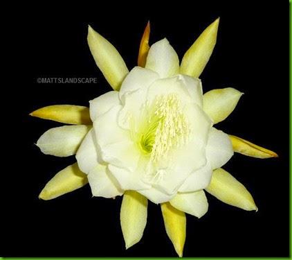 HONEY DEW Epiphyllum hybrid