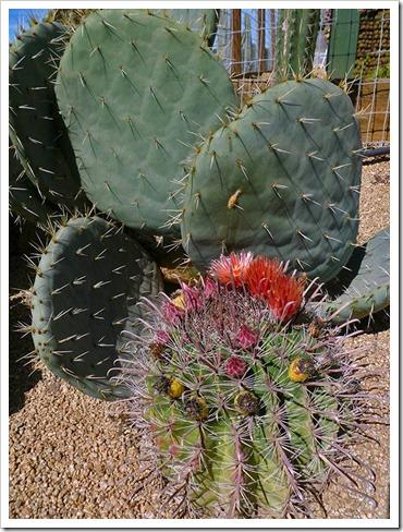 111001_succulent_gardens_ferocactus_peninsulae_01_fixed