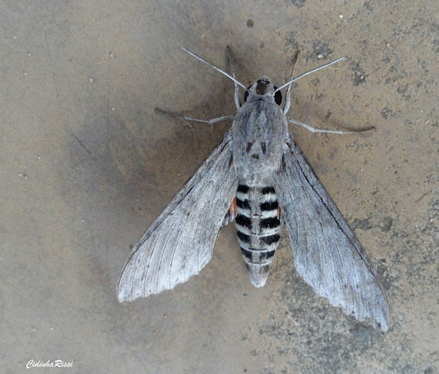 Sphingidae : Macroglossinae : Erinnyis ello ello (LINNAEUS, 1758), femelle. Colider (Mato Grosso, Brésil), mai 2011. Photo : Cidinha Rissi