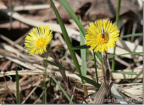 OMC_Coltsfoot_2014