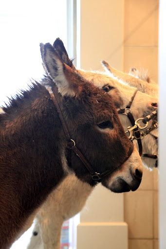 All that bacteria can cause a number of hoof problems for donks and horses alike!  Horrible infections like thrush, white line disease, lamanitis, and even abscesses can cause big health problems.