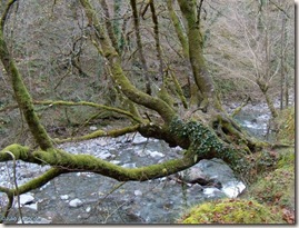 Hayas colgantes sobre el río - ruta gorges de Holtzarte