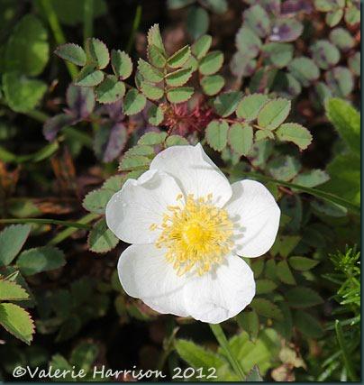 41-Burnet-rose