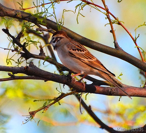 27. Lark sparrow-kab