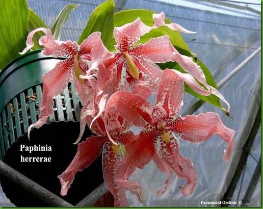 OR Paphinia_herrerae