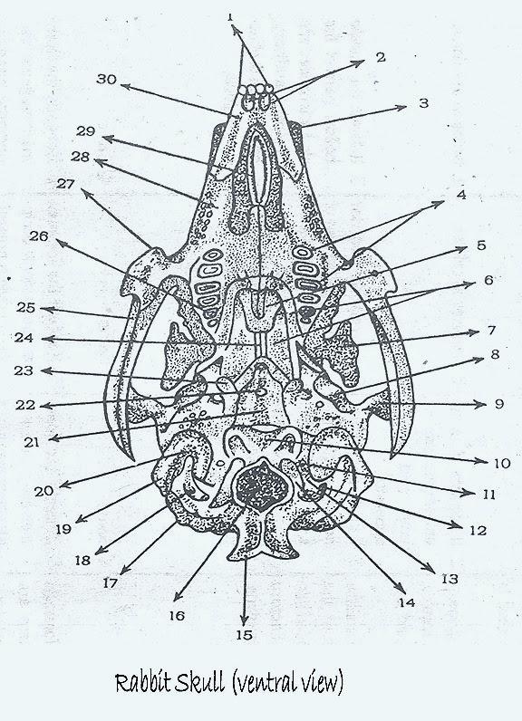 skull-rabbit-2