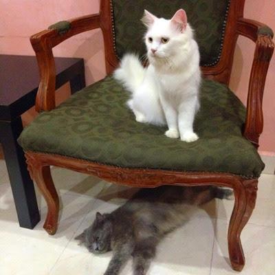 loki-chiky-kucing-comel-cat