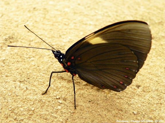 Hamadryas velutina browni JENKINS, 1983, femelle, verso. Pitangui (Minas Gerais, Brésil), 30 mai 2011. Photo : Nicodemos Rosa