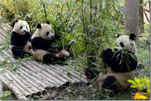 DSC_7084LR_Pandas