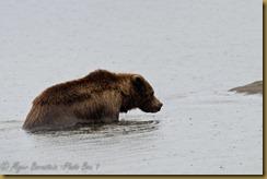 bear_ROT0148  NIKON D3S August 31, 2011