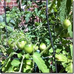 tomatoesjuly
